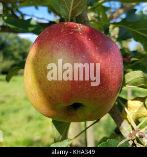 Melrose, Apfel, Malus, domestica, Alte Apfelsorte - Stock Photo