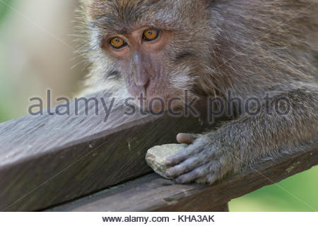 Sad monkey (macaca fascicularis) holding a rock in his hand in the Sacred Monkey Forest Sanctuary in Ubud, Bali, - Stock Photo