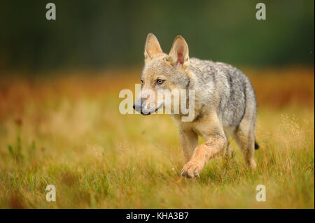 Small wolf in yellow grass - Stock Photo