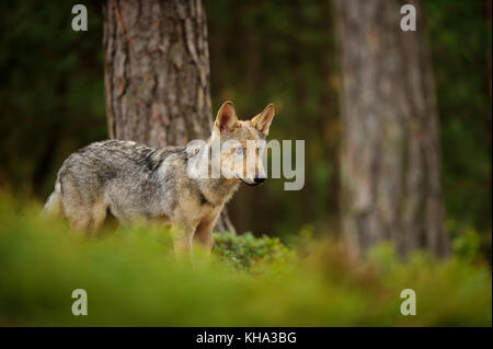 Wolf standing in forest - Stock Photo