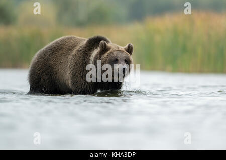 Brown Bear / Braunbaer ( Ursus arctos ), young adolescent, standing in shallow water, walking through the water, - Stock Photo