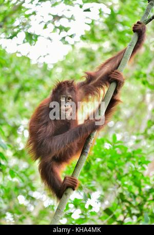 Central Bornean orangutan ( Pongo pygmaeus wurmbii ) on the tree in natural habitat. Wild nature in Tropical Rainforest - Stock Photo