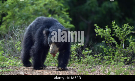 The Sri Lankan sloth bear (Melursus ursinus inornatus) is a subspecies of the sloth bear found mainly in lowland - Stock Photo