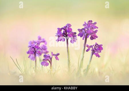 Green-winged orchid (Anacamptis morio), Thuringia, Germany - Stock Photo
