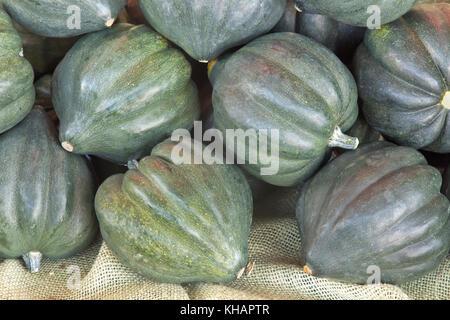 Green Acorn 'Cucurbita pepo' squash harvest,  variety turbinate, organic . - Stock Photo