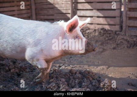 pig in a pigsty - Stock Photo