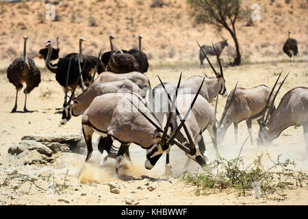 Fighting Gemsboks (Oryx gazella) and ostriches (Struthio camelus), Kgalagadi Transfrontier Park, North Cape, South - Stock Photo