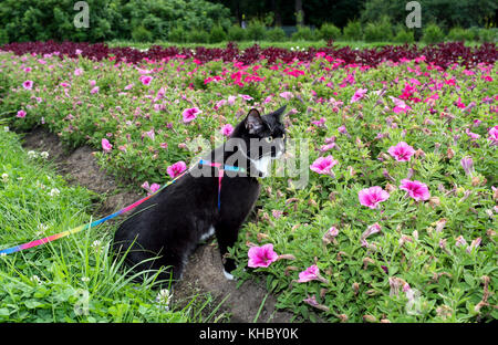 Black-and-white cat is walking on harness in urban park about flower beds in summer evening. - Stock Photo