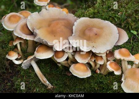 Rauchblättriger Schwefelkopf, Graublättriger Schwefelkopf, Milder Schwefelkopf, Hypholoma capnoides, Nematoloma - Stock Photo