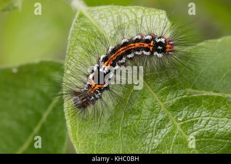 Schwan, Raupe frisst an Salweide, Euproctis similis, Porthesia similis, Sphrageidus similis, yellow-tail, gold-tail, - Stock Photo