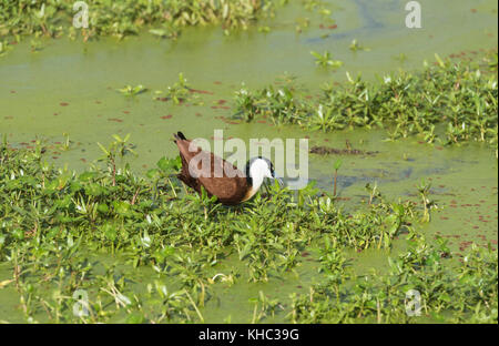 African Jacana (Actophilornis africanus) foraging - Stock Photo