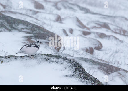 ptarmigan (rock, Lagopus muta) on a Scottish mountain in the cairngorm national park during winter, summer and autumn.