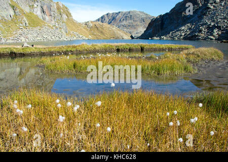 cottongrass at the source of the rhine *** Local Caption *** switzerland, graubünden, oberalppass, tomasee, lai - Stock Photo