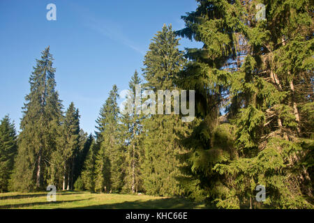 picea abies in morning light *** Local Caption *** switzerland, jura, picea abies, norway spruce, tree, meadow, - Stock Photo