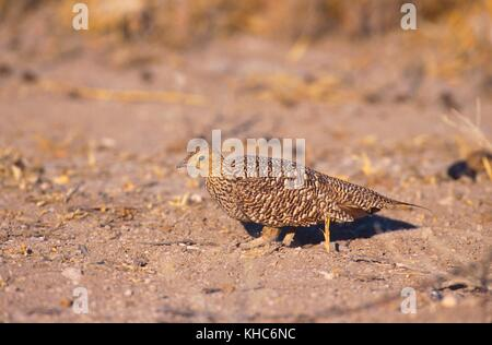 Doublebanded Sandgrouse, Pterocles bicinctus, Pteroclidae, female, sandgrouse, bird, animal, Etosha National Park, - Stock Photo