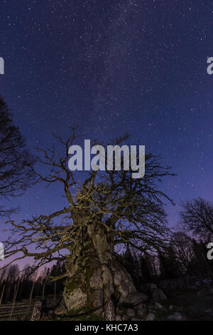The old oak in Kvill, Sweden, 14 meter girth, facing the night sky with the milky way - Stock Photo