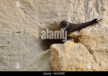 Sand Martin / Bank Swallow ( Riparia riparia) standing on a small ledge in front of its nest hole in a sand cliff - Stock Photo