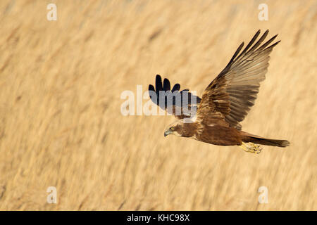 Western Marsh Harrier / Rohrweihe ( Circus aeruginosus ) in flight, searching for prey, flying over golden reed, - Stock Photo