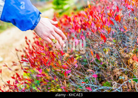 Young man's hand touching red blueberry leaves bushes in autumn fall with two hanging blue berries showing pattern - Stock Photo