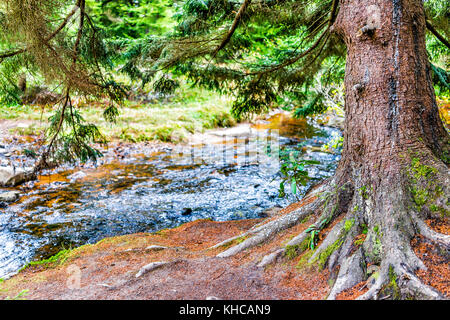 Red creek in Dolly Sods, West Virginia during autumn, fall with one, large green pine tree trunk in forest and water - Stock Photo