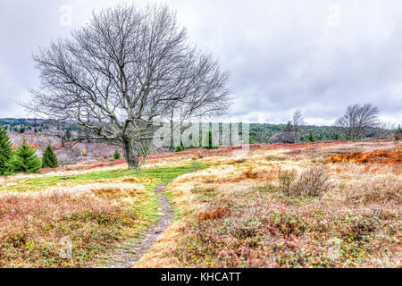 Colorful orange foliage fall autumn fern meadow field in Dolly Sods, West Virginia with windswept bare tree windy - Stock Photo