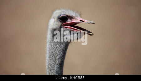 Close-up shot of the ostrich head - Stock Photo