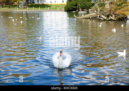 White swan swimming on the river - Stock Photo