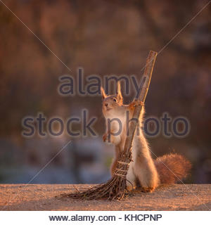 red squirrel is holding on to a broom - Stock Photo
