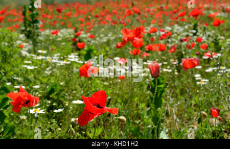 A fallow field full of wild poppies, other flowers and grasses in late April outside Cividale del Friuli in Italy - Stock Photo