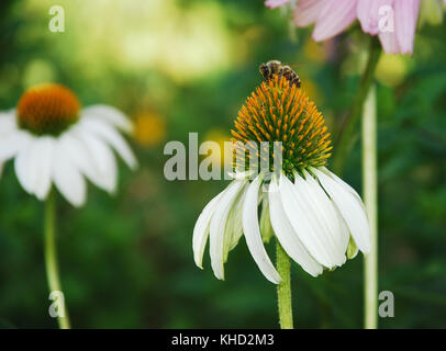 White Swan Echinacea Purpurea flowers, also known as Coneflowers – herbaceous flowering perennial plants from the - Stock Photo