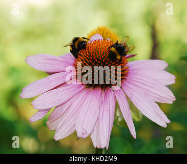 An Echinacea Purpurea flower, also known as Coneflowers – herbaceous flowering perennial plants from the Asteraceae - Stock Photo