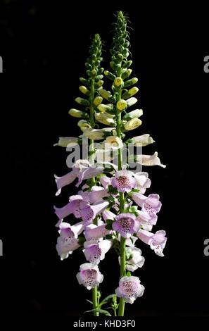 Foxgloves (Digitalis cv.). Cultivar. Beaconsfield. Buckinghamshire. England. - Stock Photo