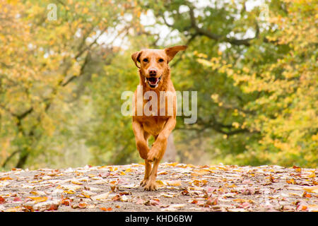 a red fox labrador running straight toward the camera with colourful autumn leaves - Stock Photo