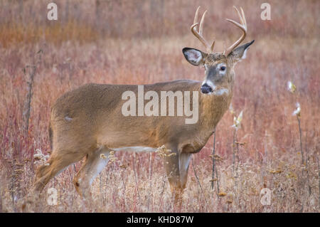 Profile view of single large eight point buck stands and looks behind in the autumn fields of Big Meadows at Shenandoah - Stock Photo