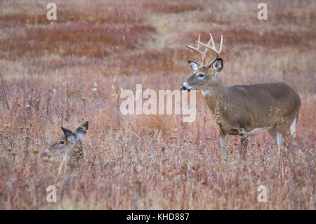 Profile view of two whitetail deer, a large buck and a doe bedded down in the fields of Big Meadows at Shenandoah - Stock Photo