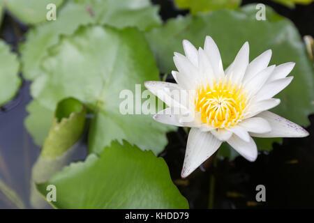 Beautiful lotus flower, White lotus flower select focus blur or blurred soft focus, Lotus flower background - Stock Photo