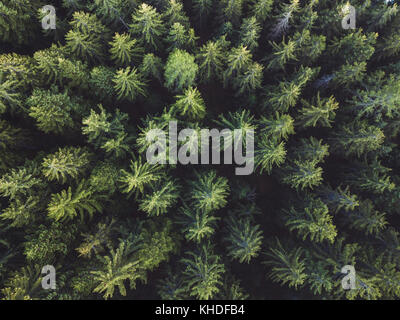 pine forest aerial shot, top view of green trees from drone, beautiful landscape - Stock Photo