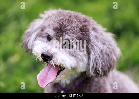 Schnoodle head shot. - Stock Photo
