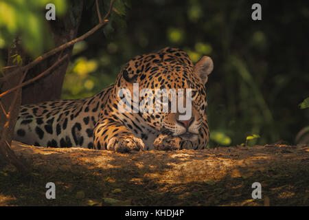 Jaguar resting under river canopy - Stock Photo