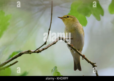 Wood Warbler ( Phylloscopus sibilatrix ), male in breeding dress, perched on a branch of an oak somewhere in the - Stock Photo