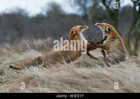 Red Foxes / Rotfuechse ( Vulpes vulpes ), two adults, in heavy fight, fighting, threatening with wide open jaws, - Stock Photo