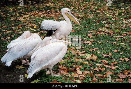Pink Pelicans in St James Park, London - Stock Photo