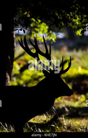 Richmond Park, London. Large red deer stag silouhetted against woodland background. - Stock Photo