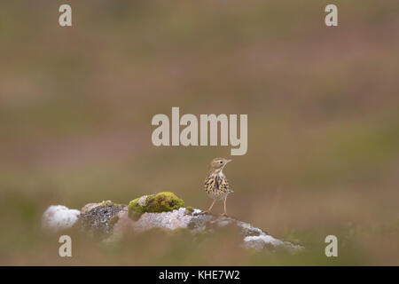 meadow pipit bird, Anthus pratensis, perched on rocks on a mountainside in Scotland with blurred heather background - Stock Photo