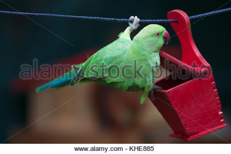 Female rose-ringed parakeet (Psittacula krameri), feral animal in Cologne/Germany, in Garden - Stock Photo