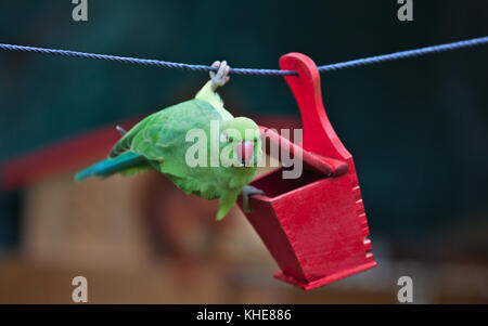 Female rose-ringed parakeet (Psittacula krameri), feral animal in Cologne/Germany, in Garden at bird feeder - Stock Photo