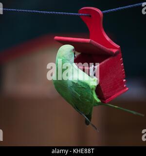 Female rose-ringed parakeet (Psittacula krameri), feral animal in Cologne/Germany, in Garden at bird feeder - Stock Photo