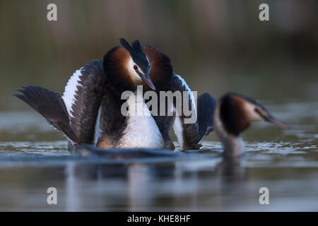 Great Crested Grebes / Haubentaucher ( Podiceps cristatus ) courting, one opens wings to impress its mate, impressive - Stock Photo