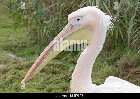 Eastern White Pelican  (Pelecanus onocrotalus) - Stock Photo
