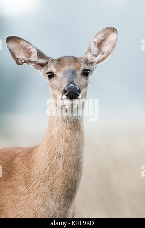 A female white-tailed deer looks up curiously from within a meadow in Michigan, United Stated, Eastern North America - Stock Photo